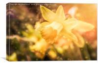 St Davids Daffodil, Canvas Print