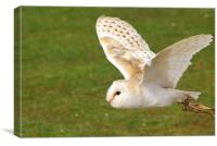 Barn Owl Flight, Canvas Print