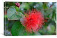 Red Pom Pom Flower, Canvas Print