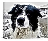Border Collie Portrait HDR, Canvas Print