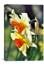 Light through the Springtime Daffodils, Canvas Print