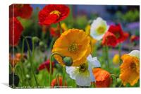 Colourful Poppy, Canvas Print