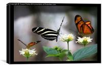 Three exotic butterflies  , Canvas Print