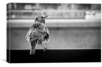 Scruffy Starling, Canvas Print