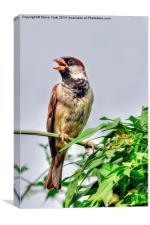 House Sparrow, Canvas Print