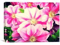 Beautiful pink clematis flowers, Canvas Print
