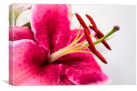 Beautiful Pink Lily, Canvas Print