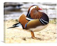 Mandarin Duck (Male), Canvas Print