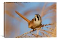 Male Bearded Tit, Canvas Print