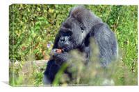 gorilla feeding time, Canvas Print