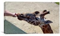 Giraffes feeding time, Canvas Print