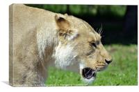 Lioness walking past, Canvas Print