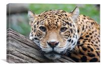 Jaguar stare, Canvas Print