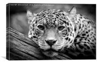 Jaguar Stare Black & White, Canvas Print