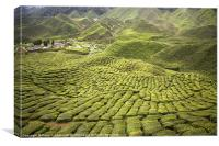 Tea Plantation, Canvas Print