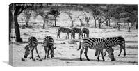 Zebra , Canvas Print