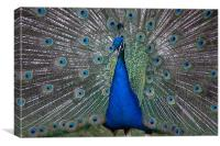 Peacock Beauty, Canvas Print
