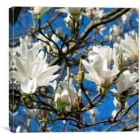 Magnolia in the sunshine, Canvas Print