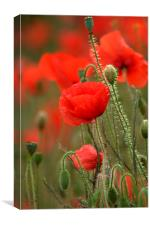 Red Poppies, Canvas Print