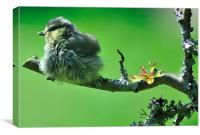 Young Blue tit after a bath, Canvas Print