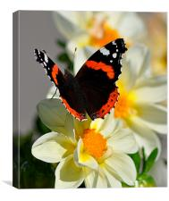 Red Admiral Butterfly on Flower, Canvas Print