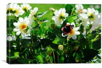 Red Admiral Butterfly on Flowers in the sunshine, Canvas Print