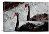 Black swans at Dawlish, Canvas Print