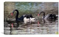 Black Swan family with three cygnets at Dawlish, Canvas Print