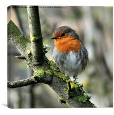 Robin on a branch with lichen, Canvas Print