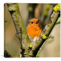 Robin singing in springtime, Canvas Print