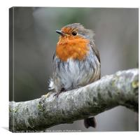 Robin with ruffled feathers on a windy day , Canvas Print