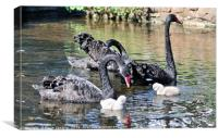 Black Swans and four day old cygnets at Dawlish, Canvas Print