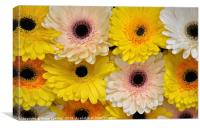 Colourful gerbera daisies , Canvas Print