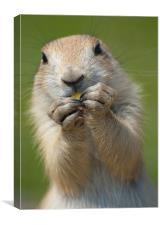 Funny Wild Adult Prairie Dog eating corn, Canvas Print