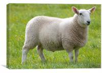 Adult sheep, Canvas Print