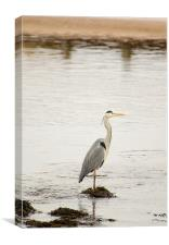 Heron fishing, Canvas Print