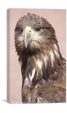 Large scottish sea eagle, Canvas Print