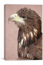 profile of sea eagle, Canvas Print