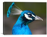 male peacock profile, Canvas Print