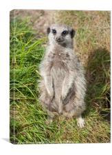 meerkat sat down in the grass, Canvas Print