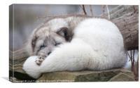 artic fox asleep on rocks, Canvas Print
