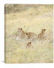 four lion cubs in grass, Canvas Print