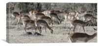 african impala on the masi mari, Canvas Print