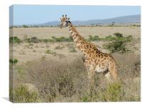 giraffe in the bush in the masi mari, Canvas Print