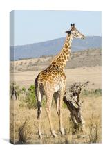 giraffe in kenya, Canvas Print