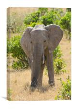 Elephant in africa, Canvas Print