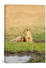 Two lion cubs, Canvas Print