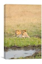 Wild lions near watering hole, Canvas Print