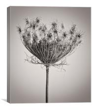 Seed Head in Copper, Canvas Print