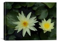 Two White Yellow Lillys, Canvas Print